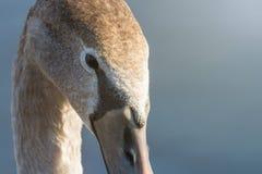 Juvenile brown swan portrait close up, Mute swan Cygnus olor. Wildlife royalty free stock images
