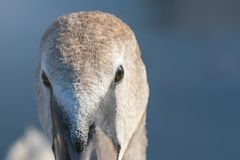 Juvenile brown swan portrait close up, Mute swan Cygnus olor. Wildlife stock photo