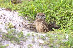 Juvenile Burrowing Owl With Recessing Brown Eyes Coming Out Of Its Burrow. A juvenile Burrowing Owl with a rare recessing brown eyes coming out of its burrow royalty free stock photo