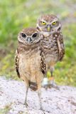 Juvenile Burrowing Owl With Recessive Brown Eyes With Parent Standing Guard. Juvenile Burrowing Owl with recessive brown eyes standing at edge of burrow with stock images