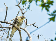 Juvenile Buteo jamaicensis, Red-tailed hawk Stock Images