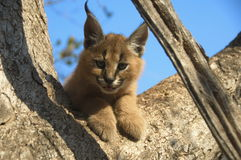 A Juvenile Caracal. Up on a tree trunk Royalty Free Stock Photos