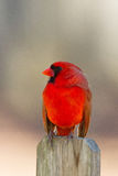 Juvenile Cardinal Royalty Free Stock Photo