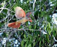 Juvenile cardinal landing on a tree branch Royalty Free Stock Images
