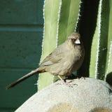 Juvenile cardinal. Standing on a garden ornament Royalty Free Stock Photos
