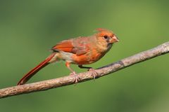 Juvenile Cardinal In A Tree Stock Images