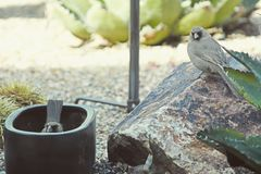 Juvenile cardinals. Birds at the garden Stock Photography