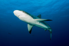 A juvenile Caribbean Reef Shark (Carcharhinus perezii) Royalty Free Stock Photos