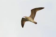 Juvenile caspian gull in flight Royalty Free Stock Image