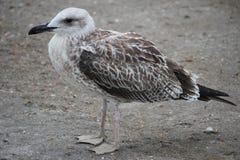 Juvenile Caspian Gull Larus Cachinnans Stock Image