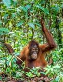 Juvenile Central Bornean orangutan  ( Pongo pygmaeus wurmbii )  in natural habitat. Stock Photography