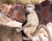 Young chachma baboon riding mother`s back royalty free stock image