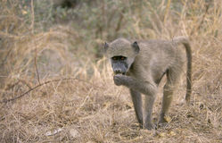 Juvenile Chacma Baboon, South Africa Stock Photos