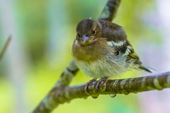 Juvenile Chaffinch on branch Stock Photo