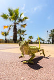 Juvenile Chameleon on a promenade in Andalusia, Spain Royalty Free Stock Image