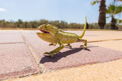 Juvenile Chameleon on a promenade in Andalusia, Spain Stock Photo