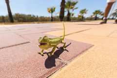 Juvenile Chameleon on a promenade in Andalusia, Spain Royalty Free Stock Photos
