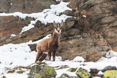 Juvenile Chamois(Rupicapra rupicapra) in a snowy day Royalty Free Stock Photo