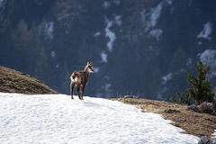 Juvenile chamois in the snow. Chamois on a patch of snow, Italy, alps, Bergamo Stock Image