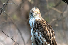 Juvenile Changeable Hawk. A juvenile changeable hawk perched and watching closely at Gir National Park Stock Photos