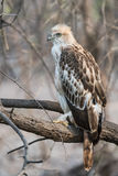 Juvenile Changeable Hawk. A juvenile changeable hawk perched and watching closely at Gir National Park Royalty Free Stock Images