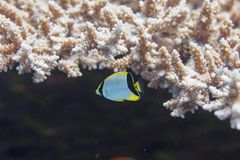 Juvenile Chevroned Butterflyfish and Lyretail Hogfish in Table Coral. On Coral Reef in Red Sea in Dahab, Egypt royalty free stock photo