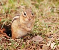Juvenile chipmunk Stock Image