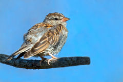 Juvenile Chipping Sparrow Royalty Free Stock Image