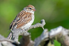 Juvenile Chipping Sparrow. Sitting in a tree stock image