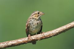 Juvenile Chipping Sparrow (Spizella passerina). On a branch in summer royalty free stock photos