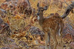 Young Innocent Juvenile Chital Deer Stock Photos