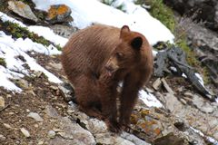 Juvenile Cinnamon Black Bear sticking out tounge Royalty Free Stock Photography