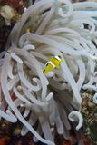 Juvenile clownfish with its anemone. Stock Image