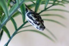 Juvenile coastal carpet python. Hiding in green plant Royalty Free Stock Images