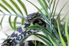 Juvenile coastal carpet python. Hiding in green plant Royalty Free Stock Photography