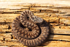 Juvenile colorful european crossed viper basking in the sun Royalty Free Stock Photography