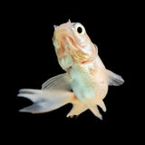 Juvenile Comet Goldfish Fry Isolated Royalty Free Stock Photos