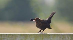 Juvenile common blackbird Royalty Free Stock Images
