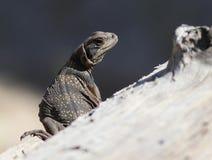 Juvenile Common Chuckwalla. A Juvenile Common Chuckwalla (Sauromalus ater) in the Anza-Borrego Desert Stock Images