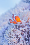 Juvenile Common Clownfish Royalty Free Stock Photos