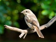 Juvenile common fiscal shrike fledgling. Juvenile common fiscal shrike perched on branch in garden Stock Photography