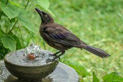 Juvenile Common Grackle Drinking from a Water Fountain