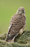 Juvenile Common Kestrel Royalty Free Stock Photo