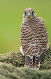 Juvenile Common Kestrel Royalty Free Stock Image