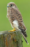 Juvenile Common Kestrel Stock Image