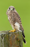 Juvenile common Kestrel Stock Photos
