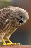 Juvenile Common Kestrel Stock Photography