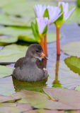 Juvenile Common Moorhen Royalty Free Stock Image