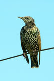 Juvenile common starling Royalty Free Stock Photography