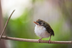 Juvenile Common Tailorbird. Perched on a stem stock photography